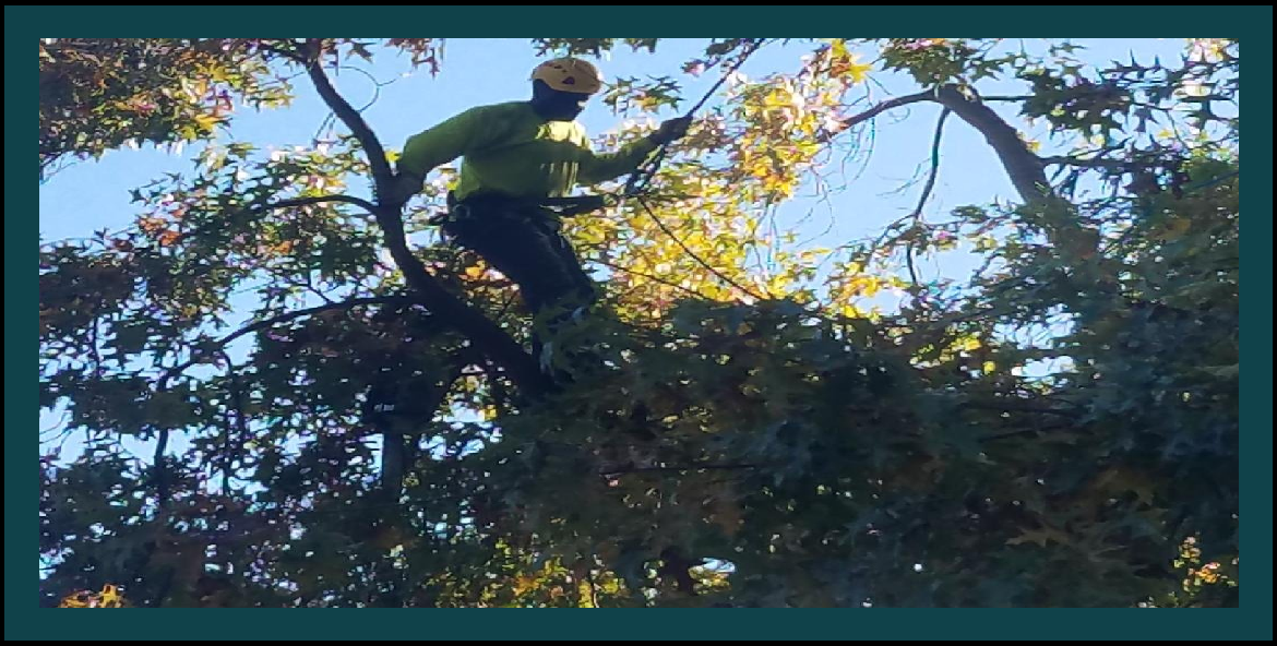 Tree Services Tree Trimming Tree Removal Stump Grinding Tree Preservation Citrus Heights Rancho Cordova Sacramento El Dorado Hills West Sacramento CA