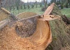 Stump Grinding Sacramento Tree Services Tree Trimming Tree Removal Tree Pruning Stump Grinding Tree Preservation Hauling Cleanup 24/7 Emergency Tree Services Citrus Heights CA Destiny Tree Care