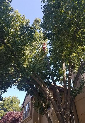Tree Services Citrus Heights CA - Tree Trimming Tree Removal Tree Preservation Stump Removal Stump Grinding